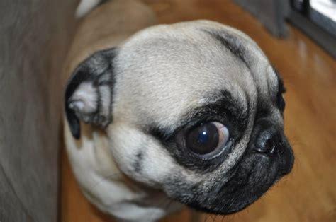 pug lige pug breeds picture