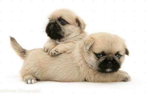 pug puppy image pug puppies wallpapers wallpaper cave