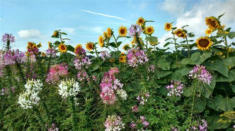 cleome  spider flower home garden information center