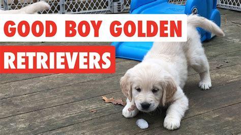 southern golden retriever display team 2017 boy golden retrievers 1funny