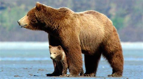 imagenes de osos fuertes image gallery osos