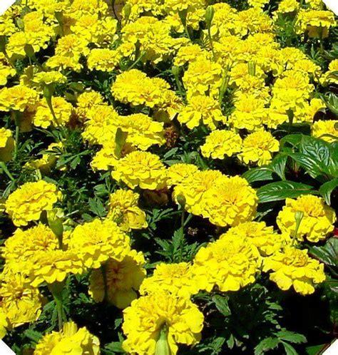 pianta fiori gialli profumati iperico erba di san come fare l olio di