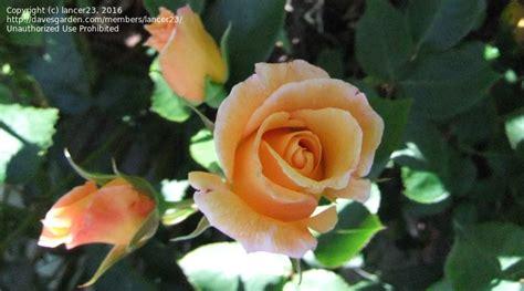 Sutters Gold 2425 by Sutters Gold Sutters Gold Bush Roses