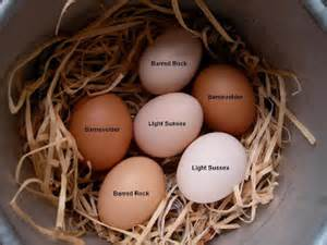 barred rock egg color science with ms seitz brown eggs versus white eggs