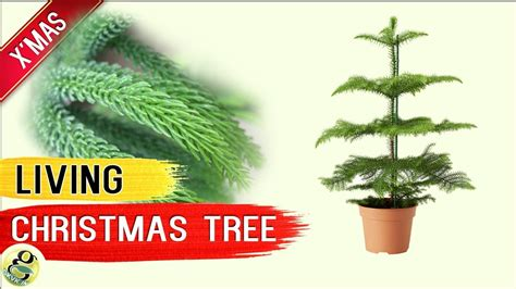 living christmas tree norfolk island pine tree living