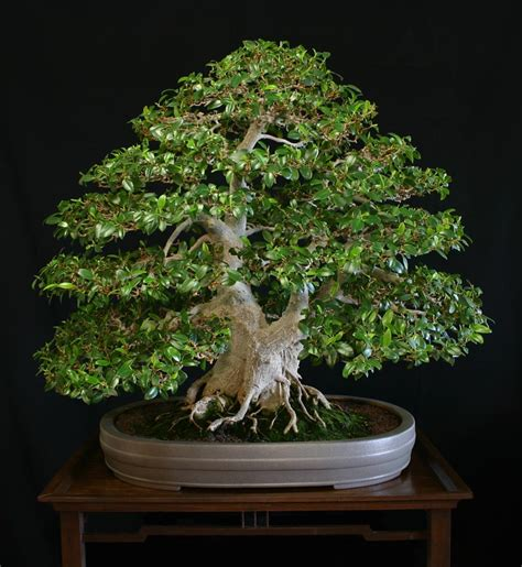 Pohon Ginseng the of bonsai project feature gallery the best of bonsai today aob s styling contest