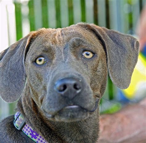 blue lacy blue lacy information pictures reviews and q a greatdogsite