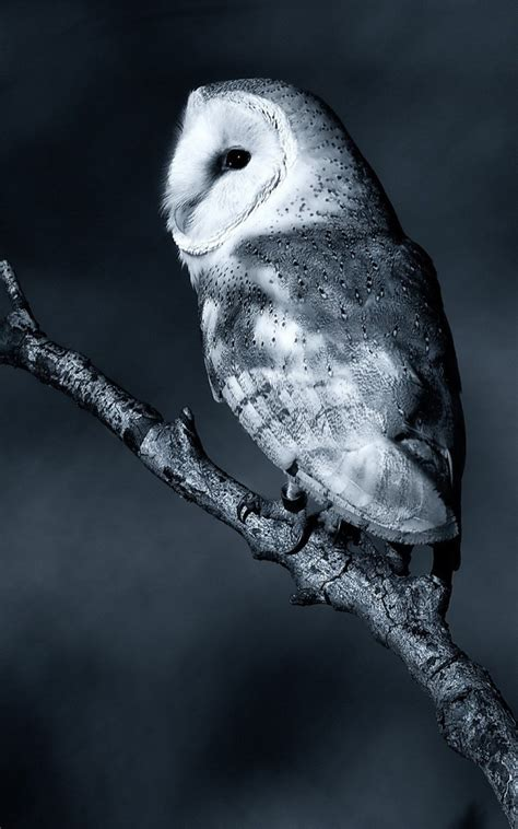 white night owl android wallpaper