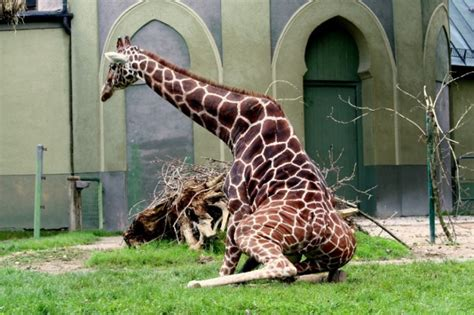 imagenes graciosas jirafas animales graciosos 20 blogodisea