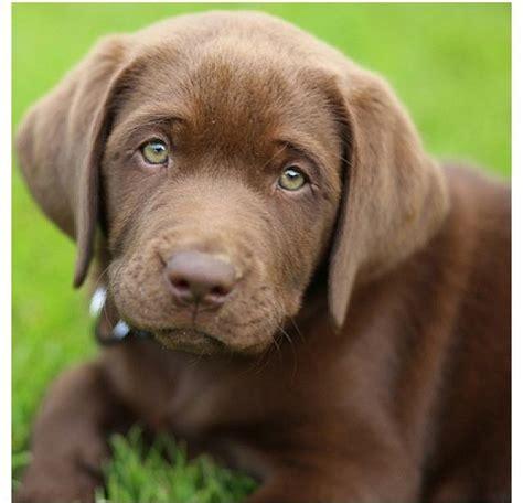 green labrador puppy green eyed choco lab puppy puppies