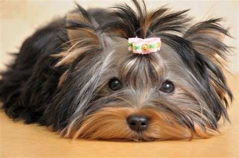 yorkie allergies treatment caring for a terrier facts you should