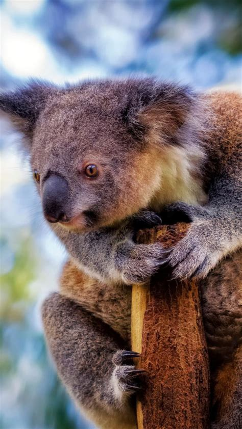 wallpaper iphone koala koala 1 wallpaper for iphone x 8 7 6 free download on