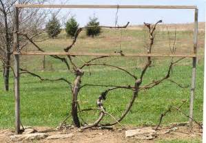 grape vine pruning 171 keswick vineyards2560 images frompo