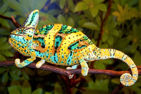 Twelve Bad, Bad Motherfuckers: The Truth about Chameleons