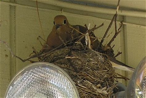 mourning doves habits mating eating nesting lifespan