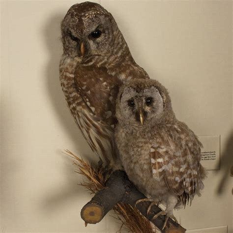 barred owl birds of dc