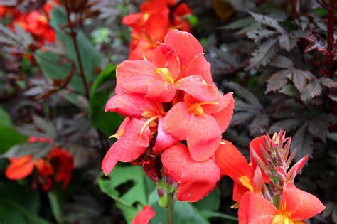 growing canna tropical perennials for the garden
