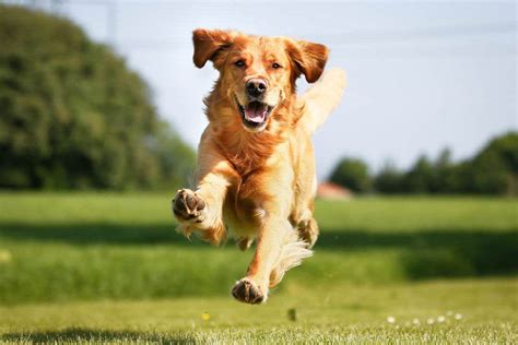 trained golden retrievers golden retriever the golden retriever network