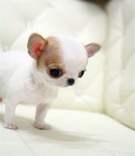 teacup applehead chihuahua puppies for sale 25 best ideas about teacup puppies for sale on tiny puppies for sale