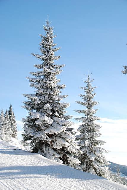 photo winter snow tree den  image  pixabay