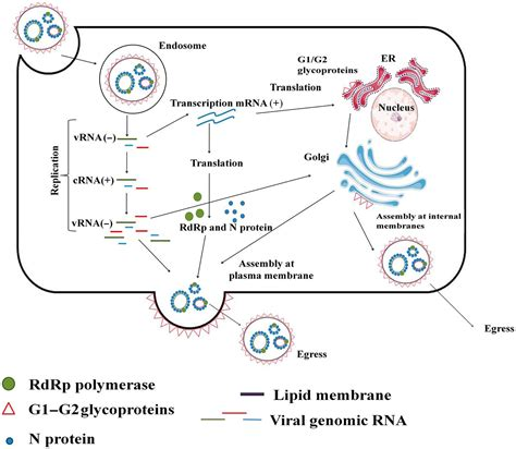 frontiers hantaviral proteins structure functions and