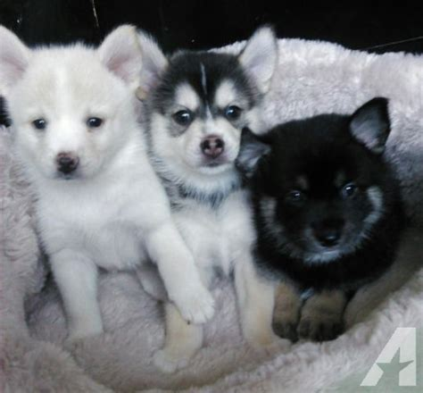 pomeranian california ckc pomsky pomeranian siberian husky puppies for sale in murrieta california