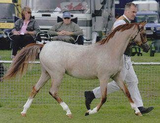 section b welsh pony welsh pony section b filly paddock alesha wonderful