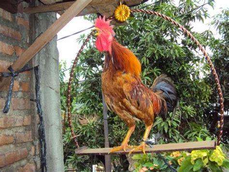 Pakan Ikan Louhan Agar Cepat Besar cara merawat hewan hias cara merawat ayam ketawa