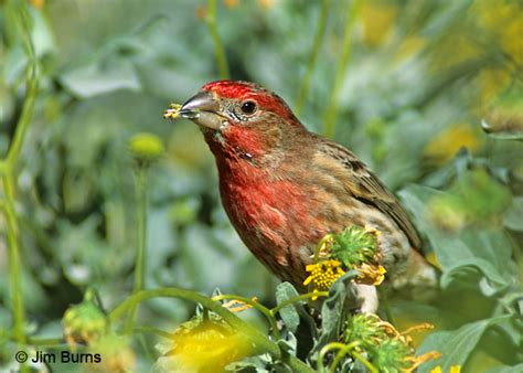 what does a house finch eat what does a house finch eat 28 images athens farm garden enjoying birds house