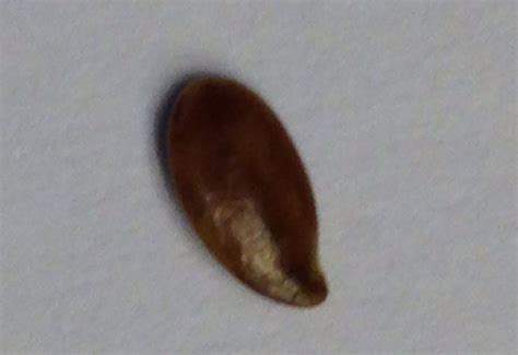 Bed Bugs Seattle Seedlike Object Found In Bed What S That Bug