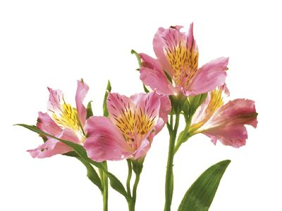 Colors And Meanings by Alstroemeria Peruvian Lily Flower Meaning Amp Symbolism