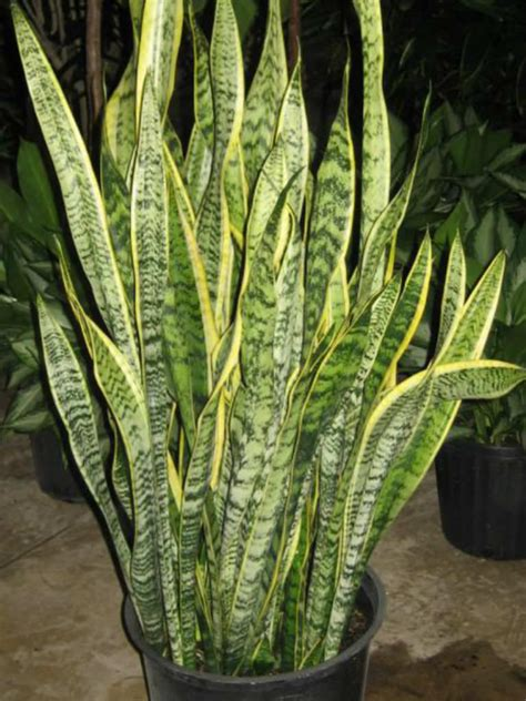 sansevieria trifasciata laurentii striped mother