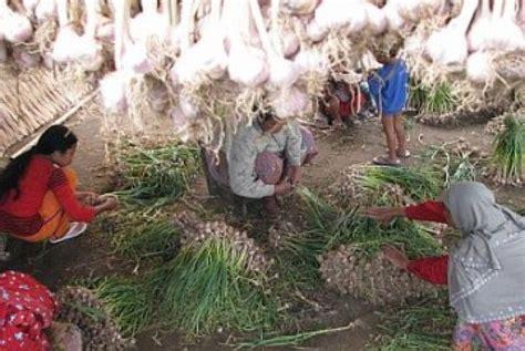 Benih Bawang Putih bank indonesia uji coba bawang putih organik di medan