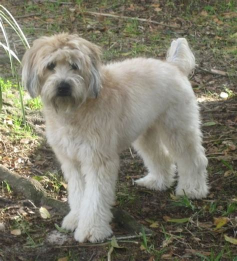 short haired wheaton soft coated wheaten terrier dog breed information and pictures