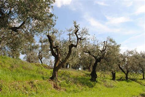 ulivi in vaso olivo in vaso ulivo olivo coltivato in vaso