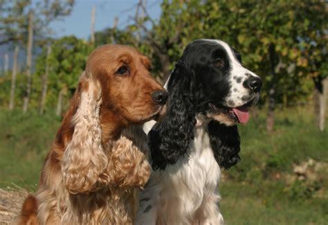 perros de raza cocker imagenes perros de raza cocker spaniel