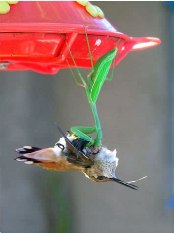 praying mantis catches hummingbird picture voices
