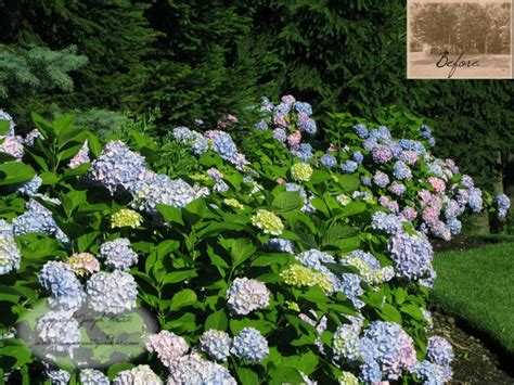 Landscape Pictures With Hydrangeas Hydrangea Planting Traditional Landscape New York