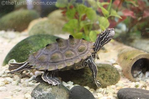 Black Knobbed Map Turtle by Graptemys Nigrinoda Delticola History Care And
