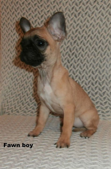 pug puppies for sale in indiana brindle pug puppies for sale breeds picture