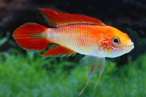 Ikan Apisto Agassizi Gold Apistogramma Agassizi Gold apistogramma agassizii agassiz zwergbuntbarsch my fish