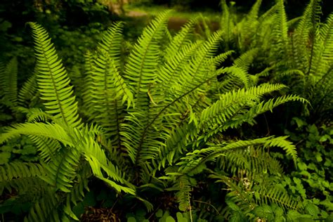 Light Green Color by Western Sword Fern