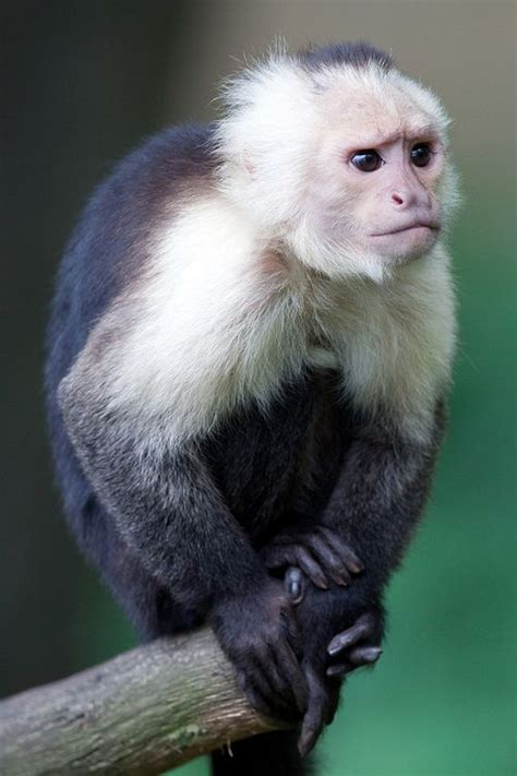 best 25 capuchin monkeys ideas on pinterest capuchin monkey pet baby monkey pet and baby