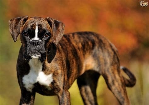buy boxer puppy boxer breed information buying advice photos and facts pets4homes
