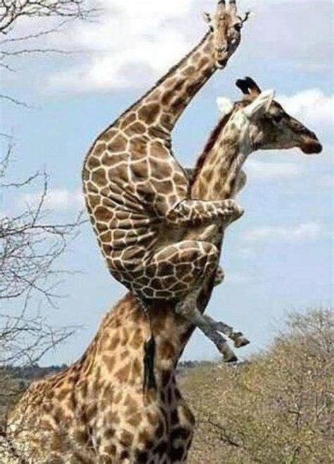 ver imagenes jirafas caracter 237 sticas de las jirafas