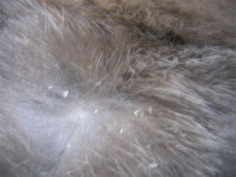 can fleas kill a can fleas bite humans pictures photos