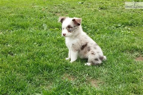 small breed puppies for sale near me australian shepherd puppies for sale near me breeds picture