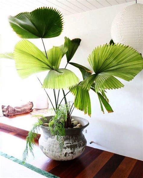 fan palm care fan palm houseplant how to grow fan palm trees indoors