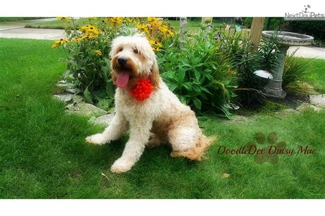 goldendoodle puppy illinois goldendoodle goldendoodle puppy for sale near chicago