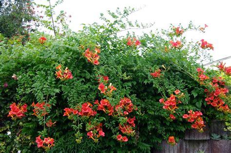 imagenes de rosas trepadoras jardiner 237 a y plantas 10 enredaderas y plantas trepadoras